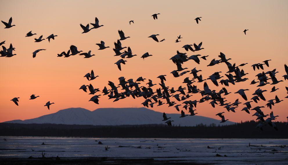 هجرة أكثر من 30 مليون طائر في سماء مدينة شيكاغو الأمريكية في مشهد مثير